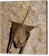 Greater Mouse-tailed Bat Rhinopoma Microphyllum Canvas Print