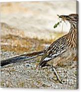 Greater Roadrunner With Nest Material Canvas Print