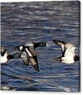 Greater Scaup Drakes Flight Canvas Print