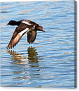 Greater Scaup In Flight Canvas Print