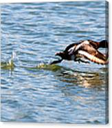 Greater Scaup Takes Flight Canvas Print