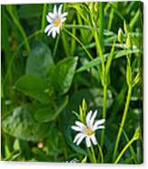 Greater Stitchwort Stellaria Canvas Print