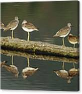 Greater Yellowlegs Canvas Print