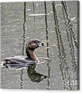Grebe In The Reeds Canvas Print