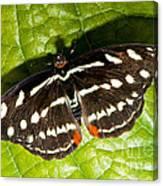 Grecian Shoemaker Butterfly Canvas Print