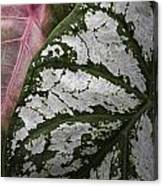 Green And Pink Caladiums Canvas Print