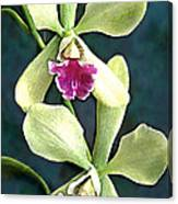 Green And Purple Cattleya Orchids Canvas Print