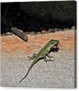 Green Anole Lizard Vs Wolf Spider  Canvas Print