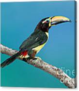 Green Aracari On Branch Canvas Print