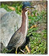 Green-backed Heron Butorides Virescens Canvas Print