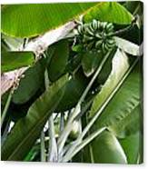 Green Bananas On A Tree Canvas Print