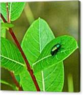 Green Beetle Foraging Canvas Print