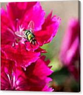 Green Bottle Fly On Dianthus  Canvas Print