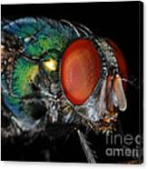 Green Bottle Fly Canvas Print