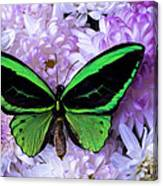 Green Butterfly And Mums Canvas Print