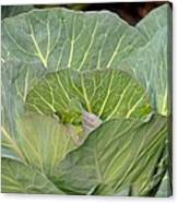 Green Cabbage Canvas Print