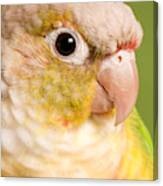 Green-cheeked Conure Pineapple P Canvas Print