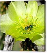 Green Cholla Beauty Canvas Print