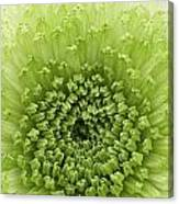 Green Chrysthanthemum Canvas Print