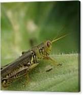 Green Closeup Grasshopper Canvas Print