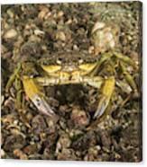 Green Crab Canvas Print