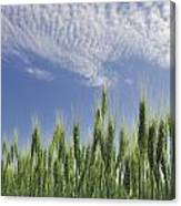 Green Crops Northwest Of Edmonton Canvas Print