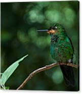 Green-crowned Brilliant Canvas Print