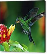 Green-crowned Brilliant Heliodoxa Canvas Print