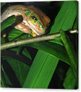 Green Eye'd Frog Canvas Print
