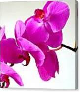Green Field Sweetheart Orchid No 1 Canvas Print