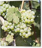 Green Grapes Growing On Grapevines Closeup Canvas Print