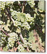 Green Grapes Growing On Grapevines Canvas Print