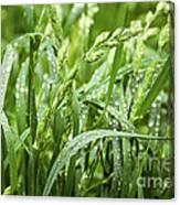 Green Grass After Rain Canvas Print