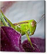 Green Grasshopper I Canvas Print