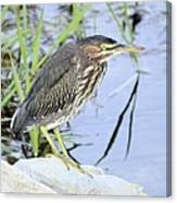 Green Heron 2 Canvas Print