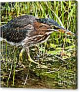 Green Heron And Catch Canvas Print