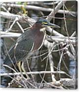 Green Heron In Everglades Np Canvas Print