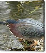 Green Heron On The Lookout Canvas Print