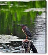 Green Heron Perch Canvas Print