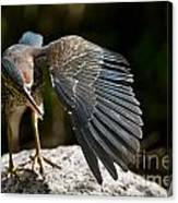 Green Heron Pictures 382 Canvas Print