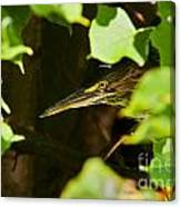 Green Heron Pictures 430 Canvas Print