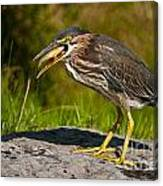 Green Heron Pictures 457 Canvas Print