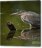 Green Heron Pictures 491 Canvas Print
