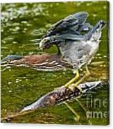 Green Heron Pictures 522 Canvas Print