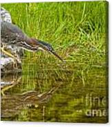 Green Heron Pictures 534 Canvas Print