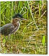 Green Heron Pictures 545 Canvas Print