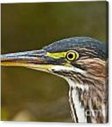 Green Heron Pictures 548 Canvas Print