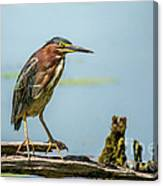Green Heron Pose Canvas Print