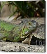 Green Iguana Lizard Canvas Print