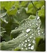 Green Leaf And  Fresh Water Pearl Canvas Print